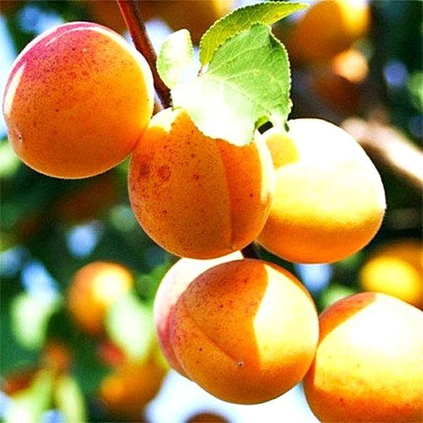 500x 2086 abrikos ananasnyy 600x600 - Абрикос Ананасный