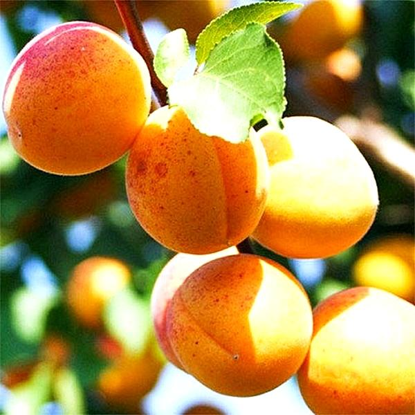 500x 2086 abrikos ananasnyy - Абрикос Ананасный