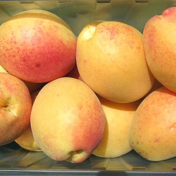 598x 2832 abrikos ananasnyy 1 600x600 - Абрикос Ананасный