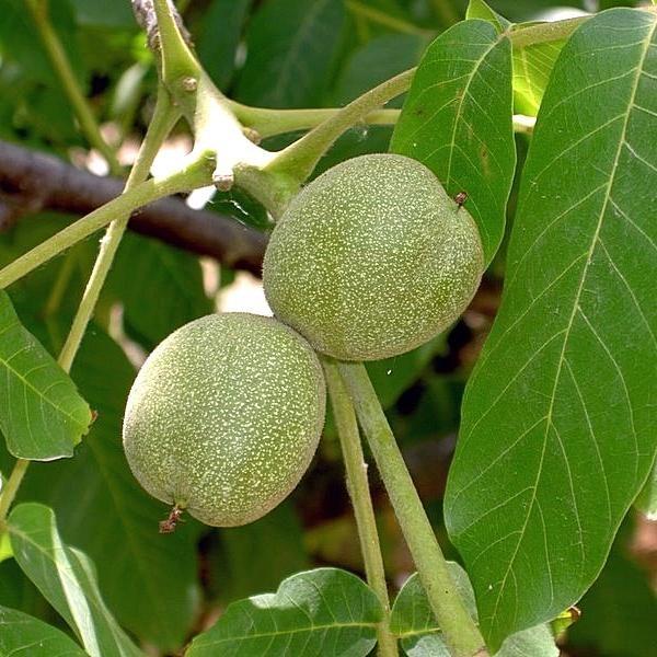 Орех грецкий Сахаристый скороплодный